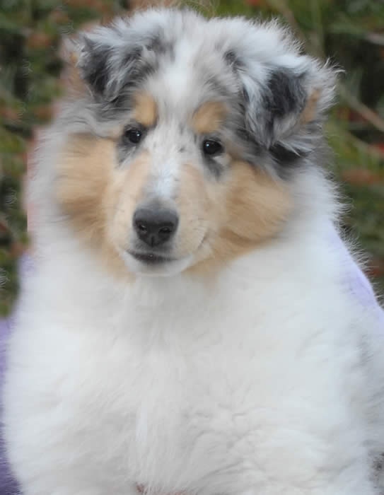 Nigel at 11 weeks of age Photo © Margery Squier taken at Rainshade Collies